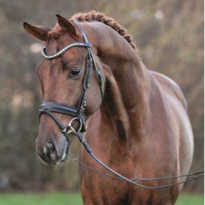 vivino -semental- recomendado-por-equustallions-de-shockemhole-helgstrand