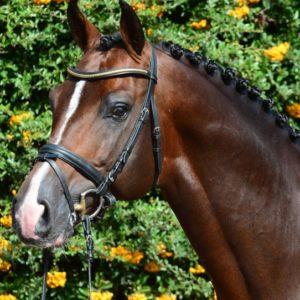 Casallco--semental- recomendado-por-equustallions- de- shockemhole-helgstrand