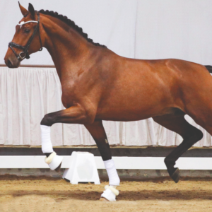 Homerun-equusstallions-helgstrand-shockemhole-genealogiaÑM